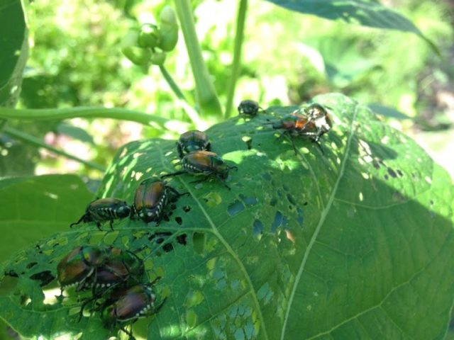 The Japanese Beetle Battle