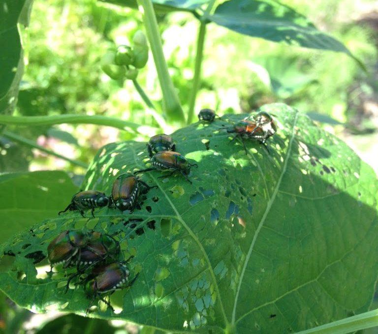 The Japanese Beetle Battle